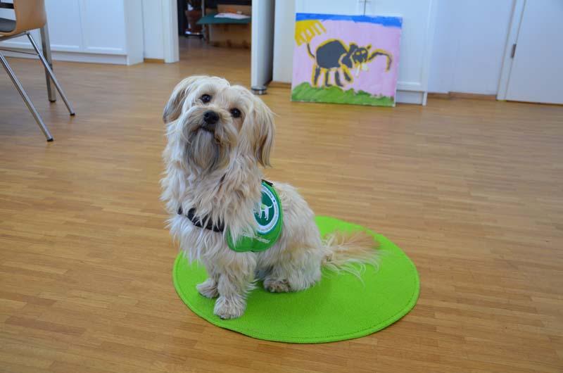 Therapiehund Chino